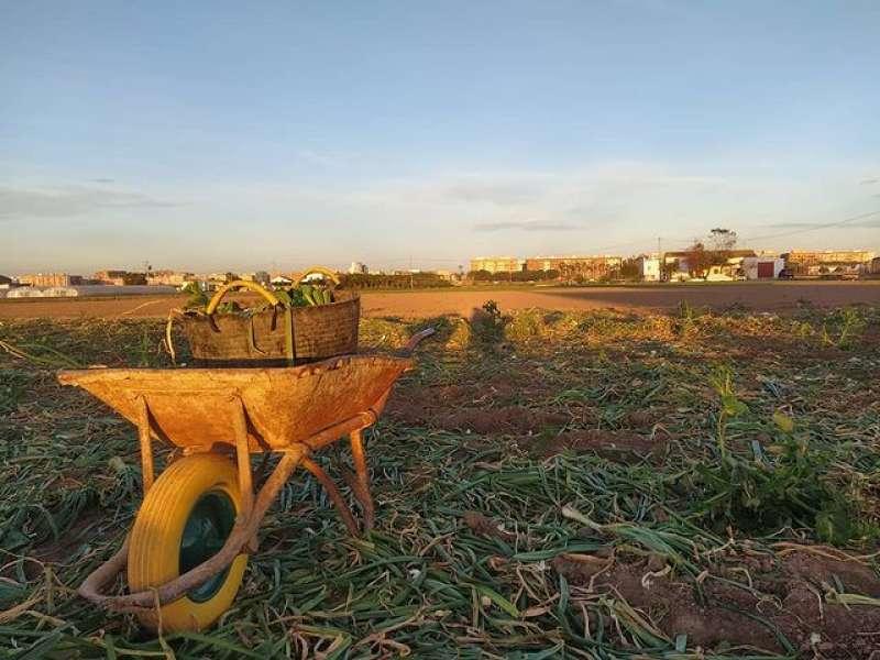 Recolección de cebollas tiernas en el campo que el abuelo de Marina Gimeno tiene en la localidad de Alboraya. / Marina Gimeno