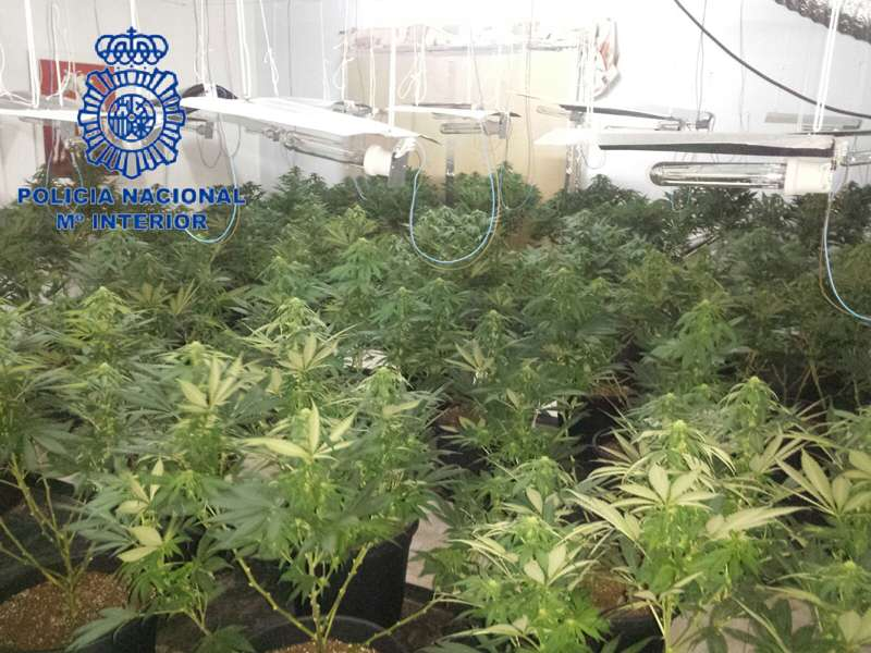 Plantación de marihuana en Daimús. FOTO POLICÍA