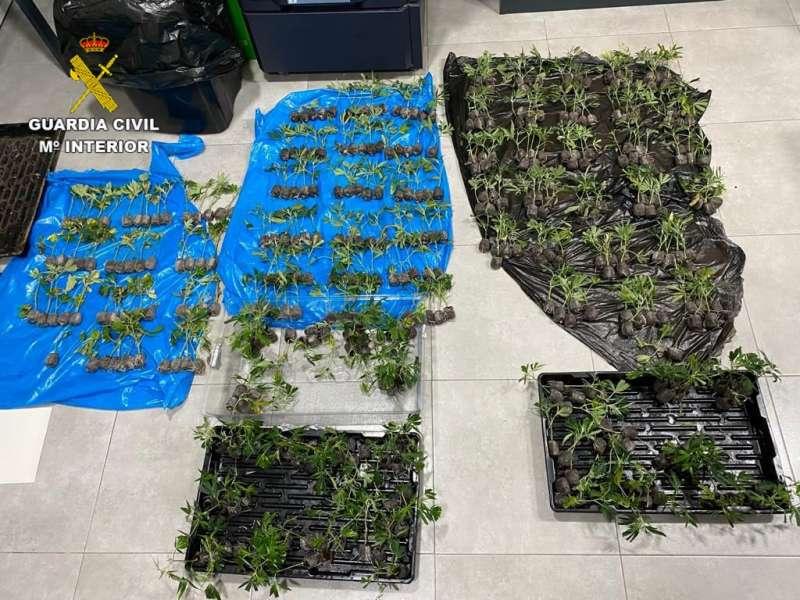 Plantas de marihuana preparadas para su cultivo