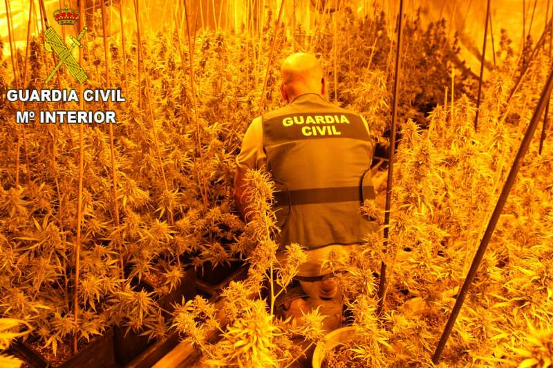 Agente de la Guardia Civil requisando la plantación ilegal