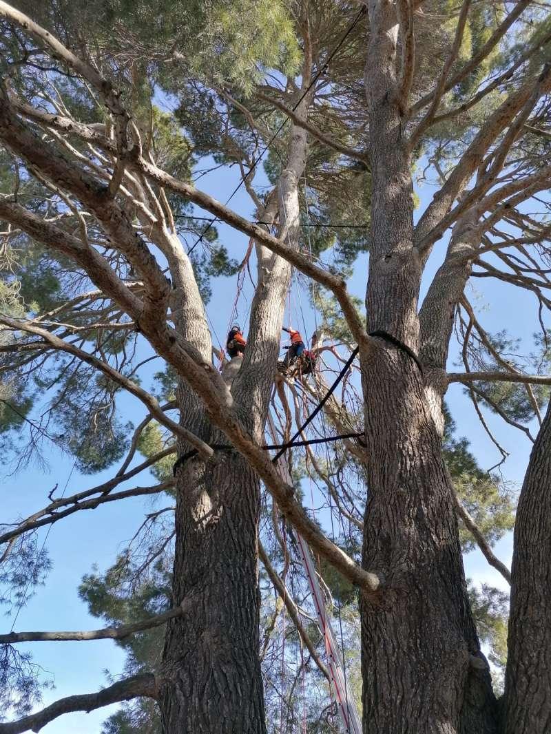Técnicos de la Conselleria de Medio Ambiente sustituyeron los antiguos cables de anclaje por un nuevo sistema de material textil para arboricultura en este ejemplar ubicado en la pedanía de Las Casas