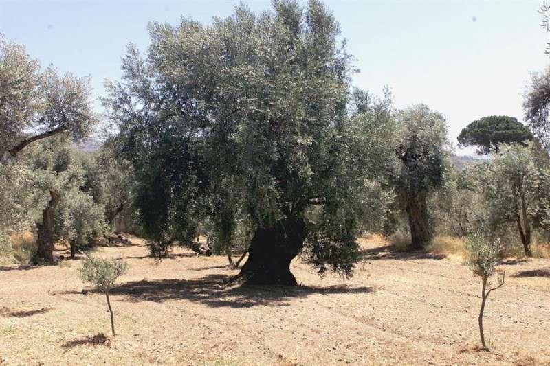 Campo con olivos milenarios. EFE