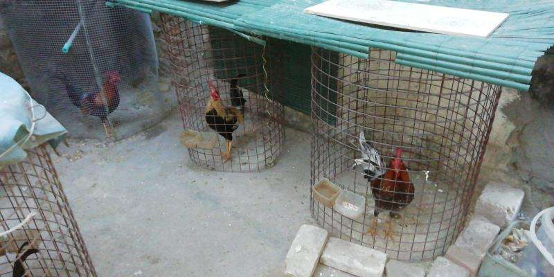 Algunos de los gallos intervenidos, en una imagen de la Policía Local.