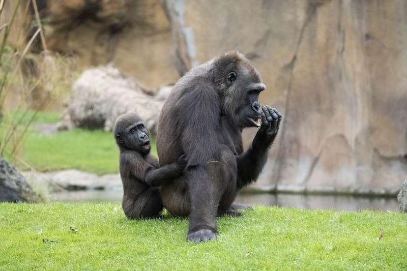 Una cría gorila con su madre