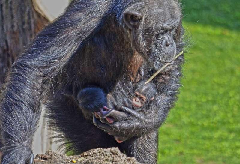 Los bebés de chimpancé con su madre