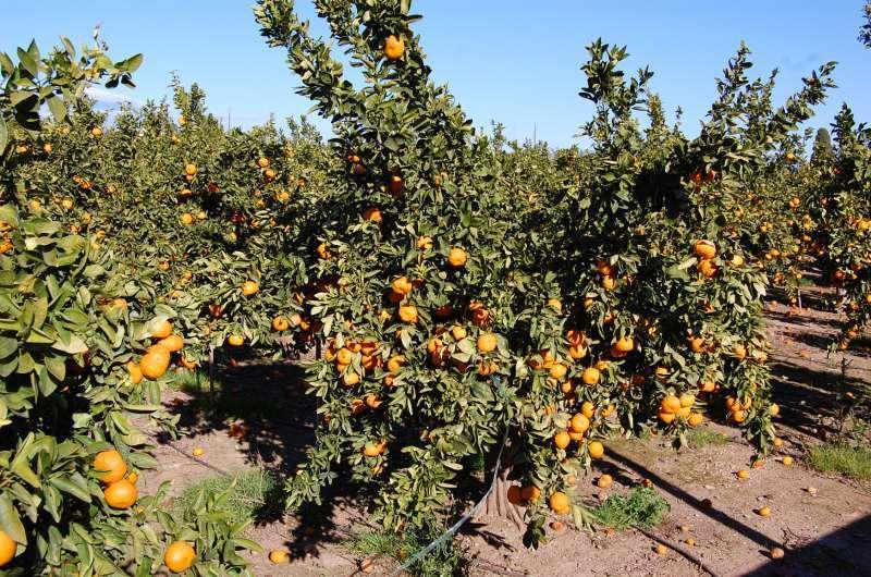 Campo de naranjos. EPDA