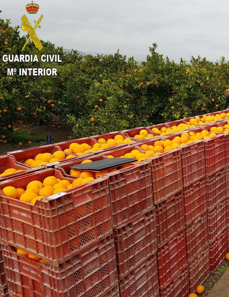 Recolección de naranja en una explotación agrícola de Benavites. EPDA