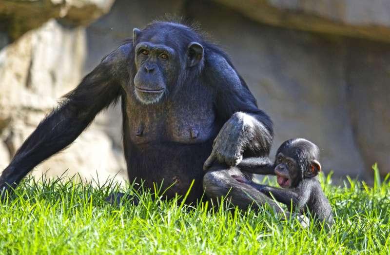 BIOPARC Valencia apadrina a Kudia, la primera chimpancé reintroducida en el Congo