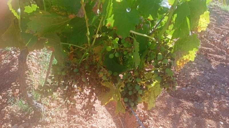 Un ataque de mildiu produce importantes mermas en la producción de uvas de Requena-Utiel