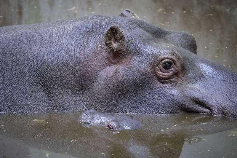 Cría de hipopótamo recién nacida en BIOPARC Valencia con su mamá. / EPDA