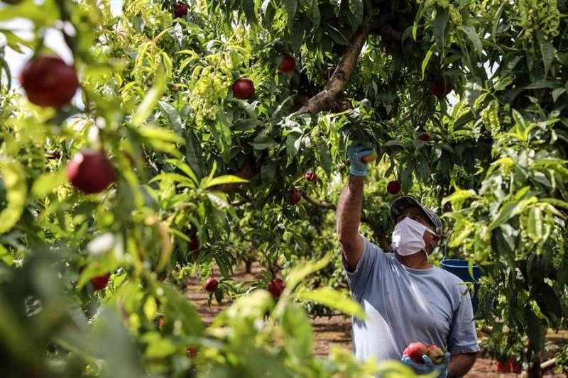 Un trabajador recolecta nectarinas en un campo en Carlet (Valencia). EFE