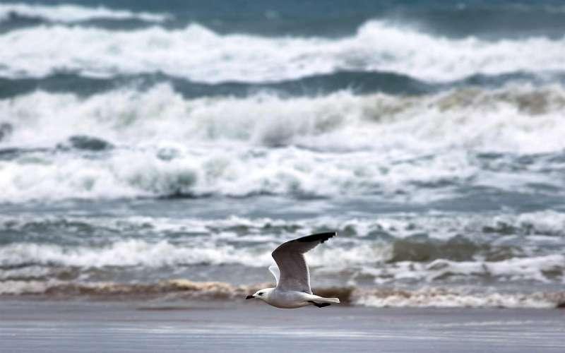 Una gaviota sobrevuela la playa de Gandia.