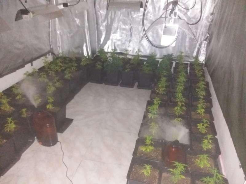 Plantación de marihuana en el incendio