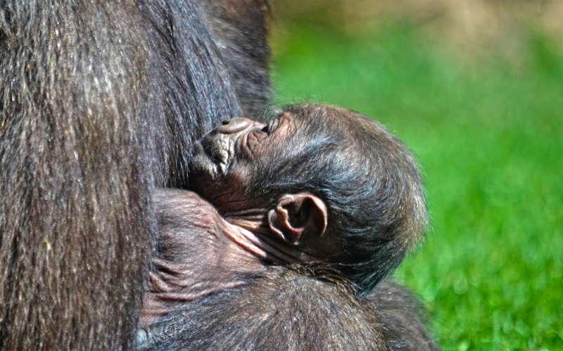 Cría de gorila nacida recientemente en el Bioparc de València./epda